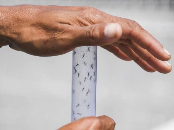 Zanzare Aedes aegypti (Afp)