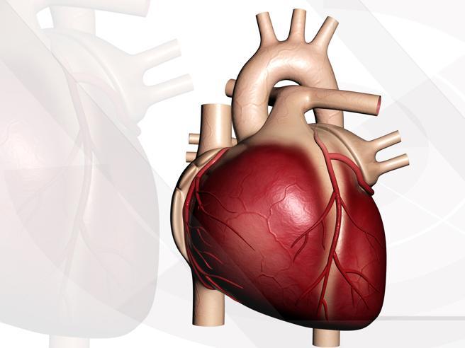 Perché il cuore si trova a sinistra?