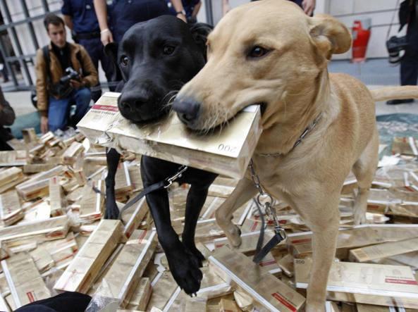 Cani labrador addestrati per fiutare sigaretti contrabbando