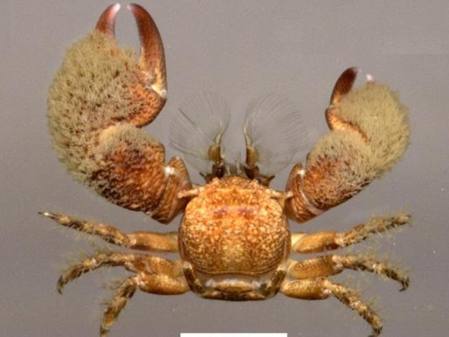 Trovata una nuova specie di granchio peloso con le chele asimmetriche
