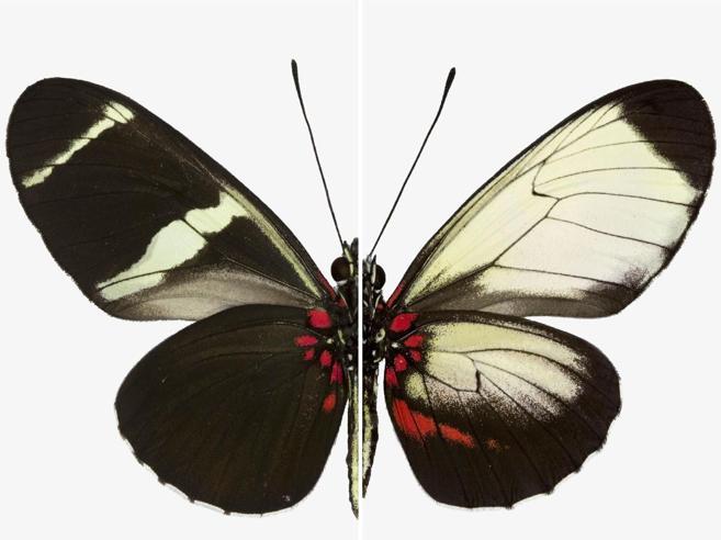 """Scoperto il segreto della farfalla:così bella grazie al gene """"pittore"""""""