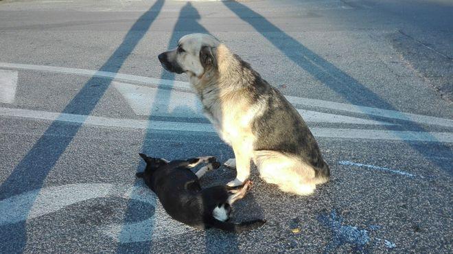 Картинки по запросу il cane veglia per ore l'amico investito sulla Tuscolana