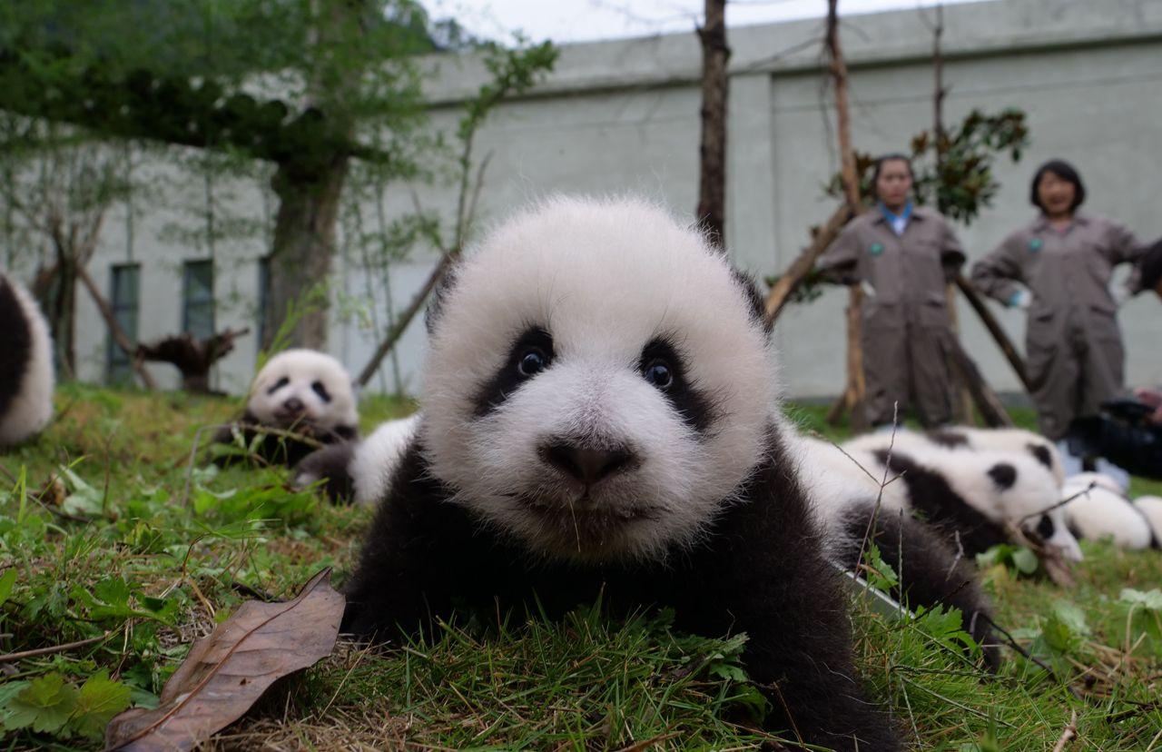 Cina, Prima Apparizione In Pubblico Per I 36 Cuccioli Di