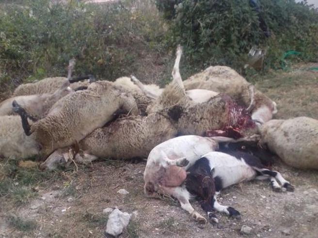 Non vendeva il latte: pastore sgozza le sue 135 pecore e 4 cani