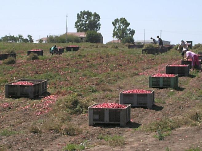 Così i pomodori degli schiavi finiscono alle multinazionali