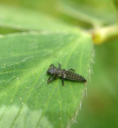 Coccinelle guardiane delle piante for Divora larve di zanzara