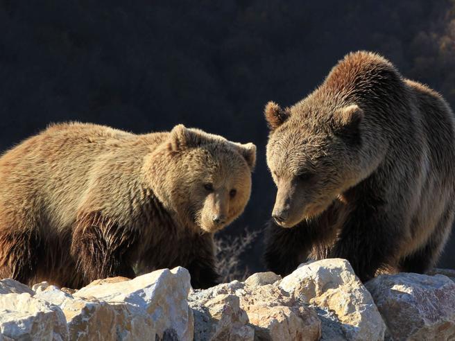 Gli orsi «del ristorante» si preparano al letargo
