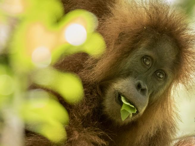 L'orango a rischio   e la morte  della barriera corallina: i  13 sos  lanciati dalla Terra nel 2017