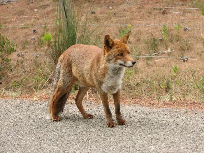 Uccisa con un colpo di fucile la volpe che era stata adottata dal paese
