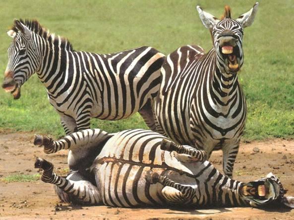 zebre-che-ridono