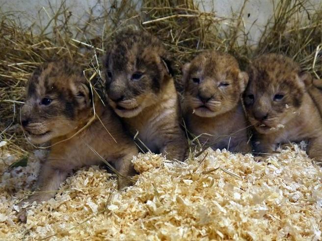 Svezia, zoo uccide nove cuccioli di leone: «Erano troppi per noi»