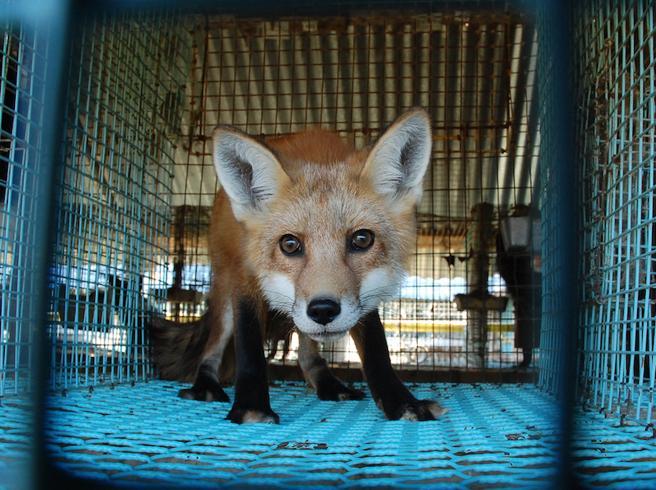 vietati gli allevamenti di animali da pelliccia