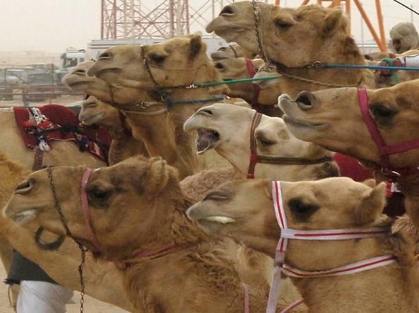I cammelli col botox squalificati dal concorso di bellezza
