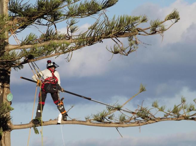 Roberto e la scalata per salvare l'albero più alto della Sardegna