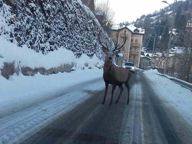 Lo sguardo del cervo in posa sulla statale per Ponte di Legno