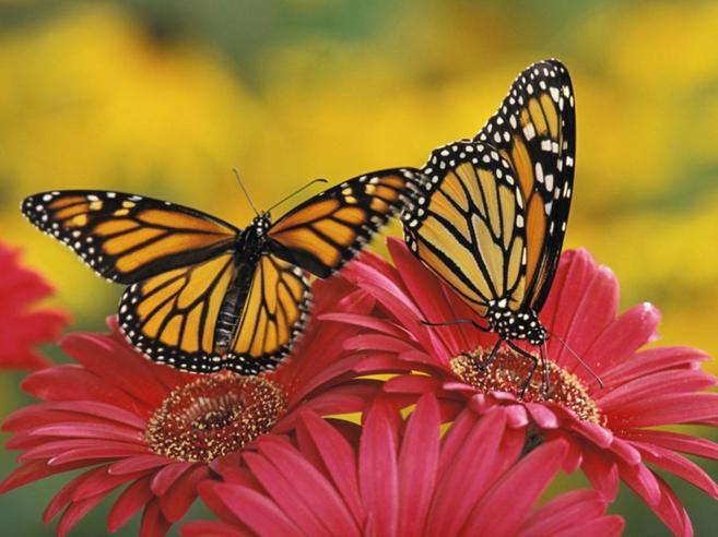 Texas, la costumista che ripara le ali (ferite) delle farfalle