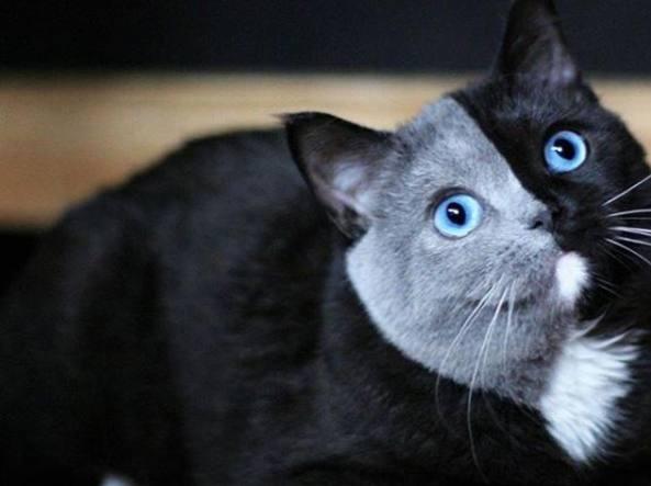 Ecco narnia la gatta chimera dal muso di due colori - Immagine del gatto a colori ...