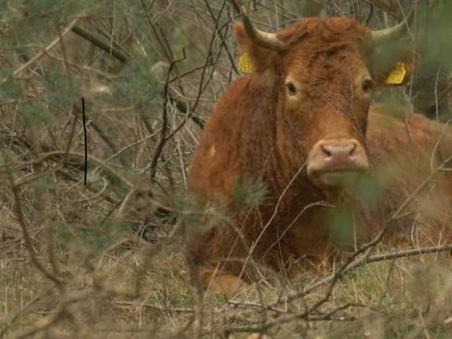 Hermien, la mucca scampata  al macello,     morta per un infarto