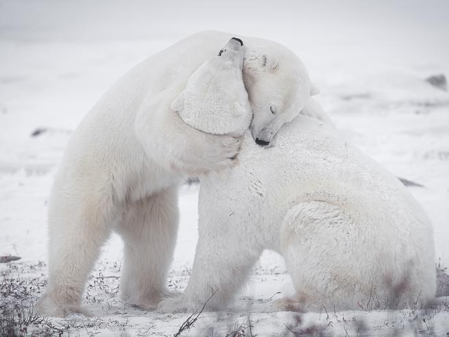 Il tenero  abbraccio dopo la lite:  gli  orsi «umani»  di Churchill Foto