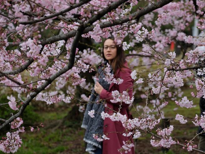 Ciliegi fioriti, (almeno) in Oriente è arrivata la primavera Le foto
