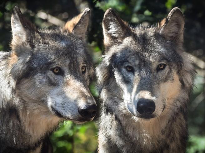 Elli, la donna che vive con i lupi: «Sono i miei maestri»