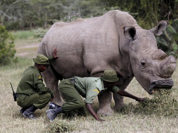 Kenya: morto l'ultimo maschio di rinoceronte bianco settentrionale
