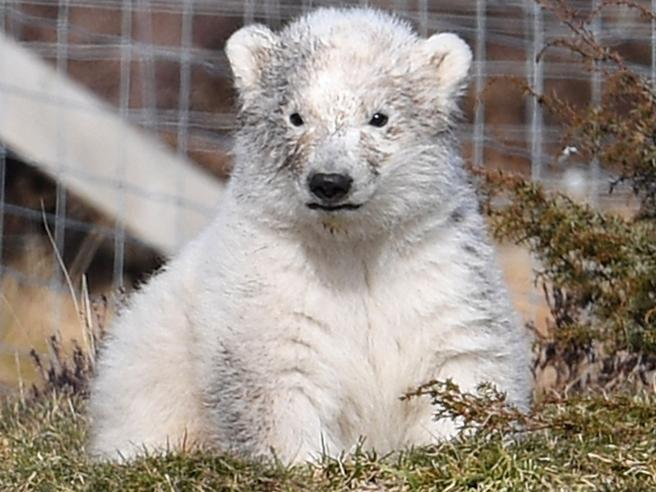 Il debutto in società dell'orsetta polare