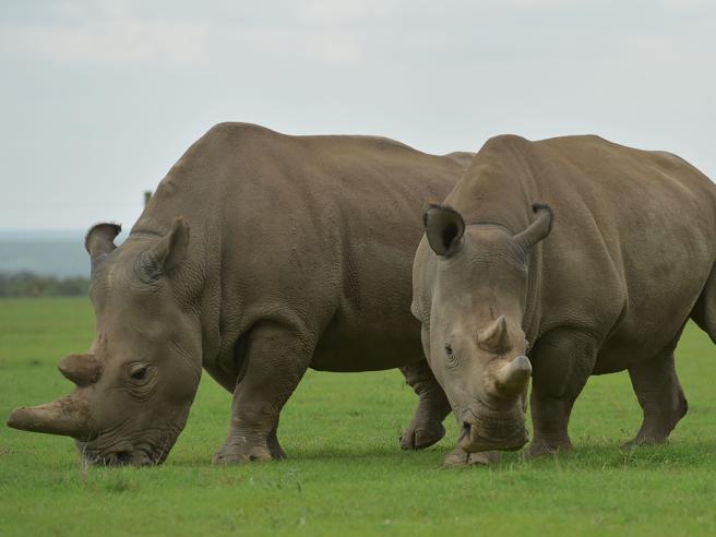 Morto il rinoceronte Sudan, la «maternità surrogata» per evitare l'estinzione della specie - Le foto