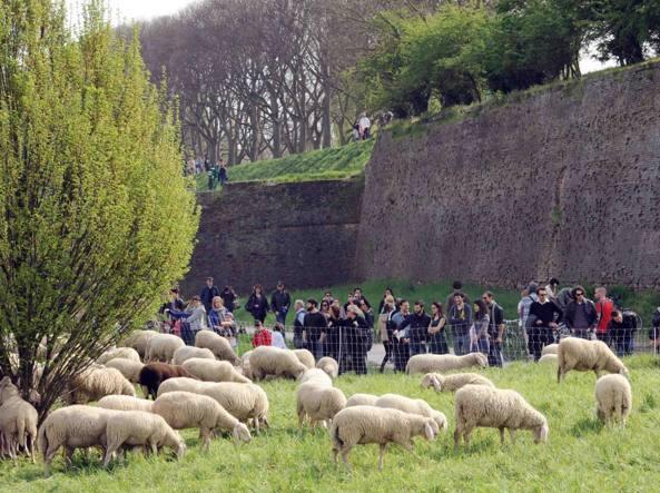 Pecore 'tosaerba' nelle grandi ville di Roma, 'C'è l'esempio di Berlino'