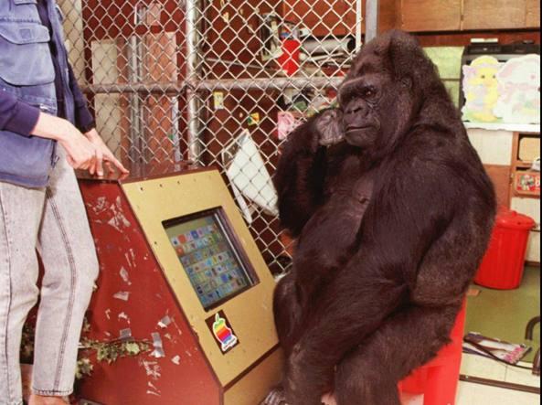 È morta Koko, la gorilla che imparò il linguaggio dei segni