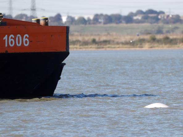 C'è una balena beluga nel Tamigi