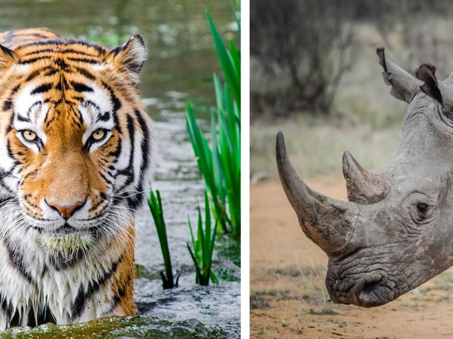 Tigri e rinoceronti: la Cina vuole legalizzare l'uso di pelli e ossa
