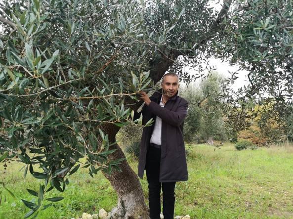 Xylella in Toscana, ma gli ulivi sono salvi (per ora)