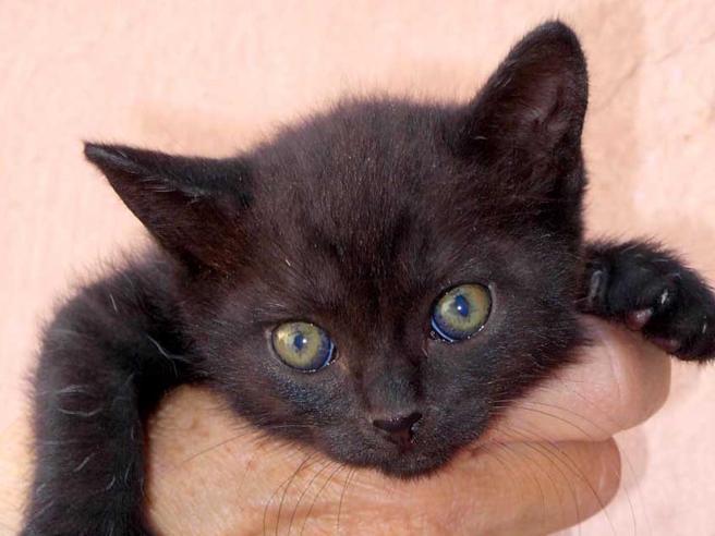 Coronavirus: contagiati due gatti domestici a NY