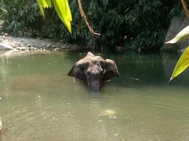 Femmina di elefante uccisa con esplosivo nella frutta