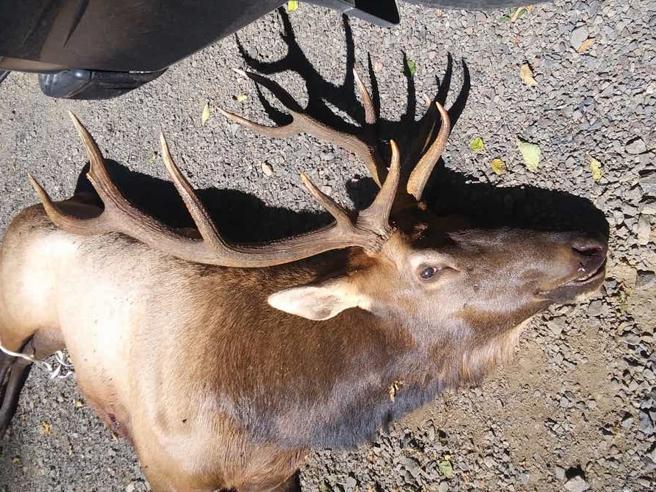 Usa, alce incorna e uccide il cacciatore che lo aveva ferito