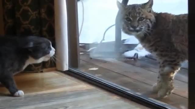 Il Gatto Contro La Lincee Il Più Piccolo Ha La Meglio Corriere Tv