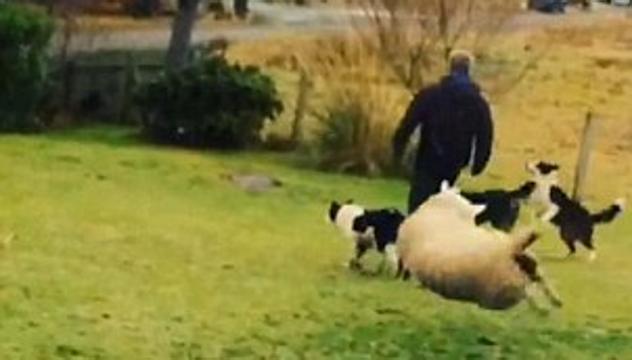 Scozia: La pecora che si crede un cane