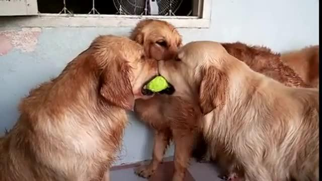 Due golden retriever litigano per una pallina da tennis, quando arriva il terzo a far da paciere