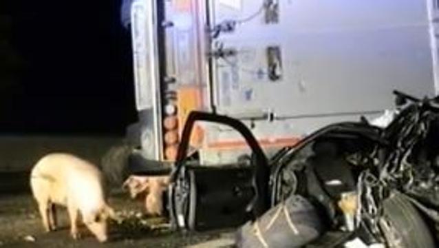 A1, i maiali in autostrada dopo l'incidente