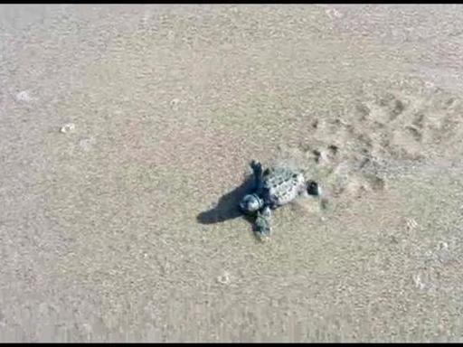 Orbetello la corsa delle tartarughe appena nate verso for Tartarughe appena nate
