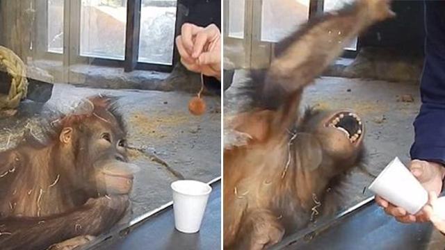 L'orangutan impazzisce per un trucco di magia - Corriere TV