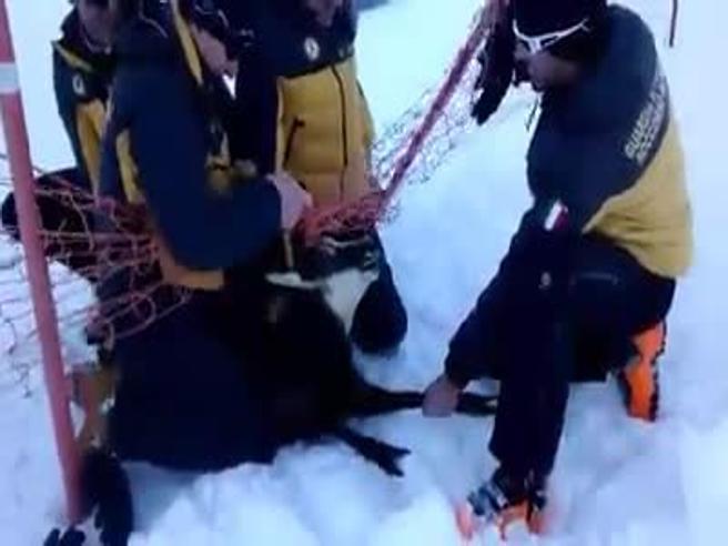 Il camoscio si impiglia nella reti sulla pista da sci: liberato dai finanzieri del soccorso Alpino
