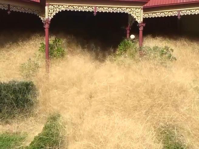 «Hairy panic», la pianta infestante che ha invaso un'intera cittadina in Australia