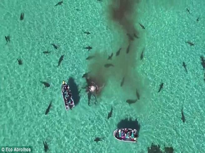 La balena divorata da 70 enormi squali tigre
