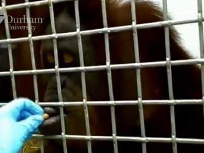 Ecco Rocky, l'orango che parla
