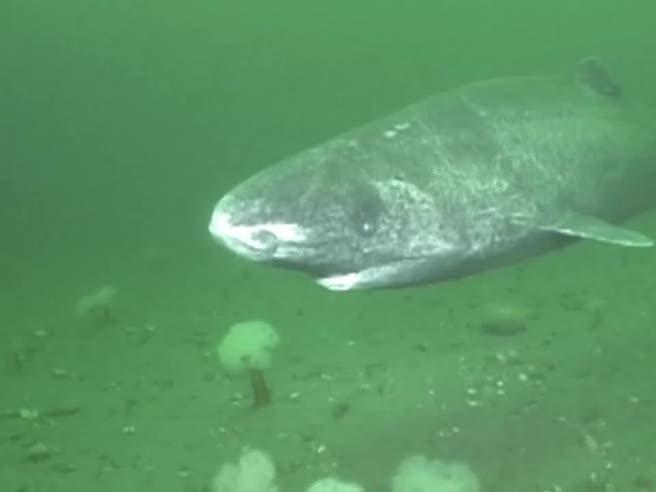 Incontro ravvicinato con lo squalo della Groenlandia
