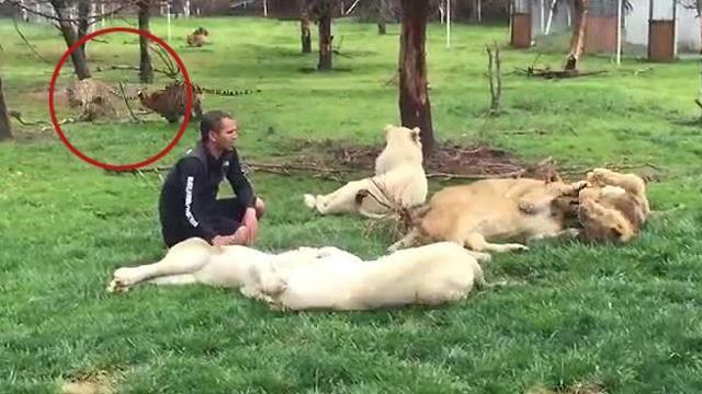 Leopardo si lancia all'assalto dell'addetto allo zoo, salvato dalla tigre