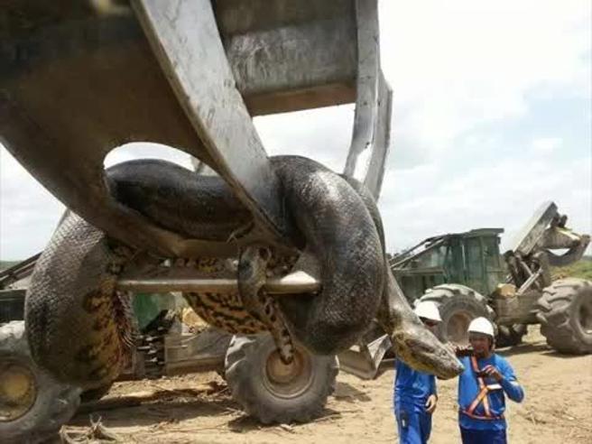 Brasile, lavoratori trovano nel cantiere anaconda gigante: 10 metri per 400 kg