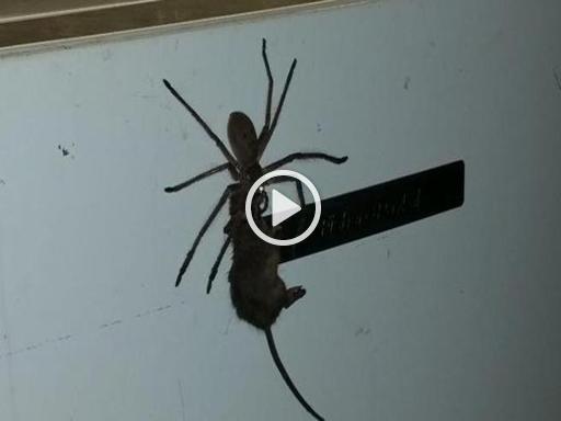 Indovinate qual è lo spuntino di questo grosso ragno?